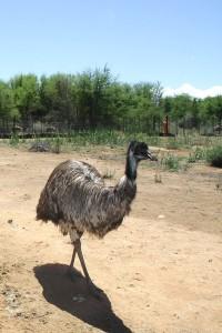 Safari-Ostrich-Farm-Oudtshoorn-Emu