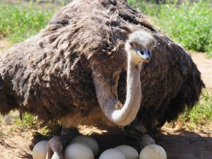 Safari-Ostrich-Farm-Oudtshoorn-Garden-Route-South-Africa-8