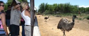 Safari-Ostrich-Show-Farm-Emu-Oudtshoorn-Western-Cape-
