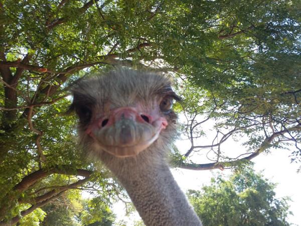 safari-ostrich-show-farm-oudtshoorn-garden-route