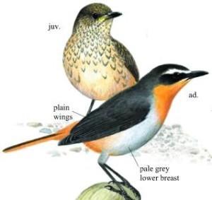Cape Robin
