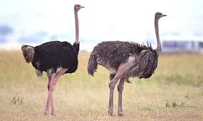 Wild-Ostriches-Safari-Ostrich-Farm-Oudtshoorn-South-Africa