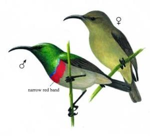 Southern Double Collard Sunbird