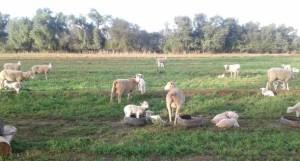 Sheep-AT-Safari-Ostrich-Farm-Oudtshoorn-South-Africa