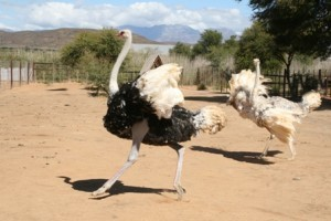 male-and-female-Ostriches-Safari-Ostrich-Farm-Oudtshoorn-South-Africa