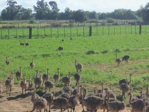 little-ostrich-chicks-Safari-Ostrich-Farm-Oudtshoorn-South-Africa