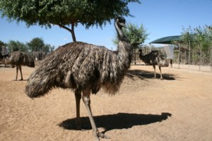 emu-camp-Safari-Ostrich-Farm-Oudtshoorn-South-Africa
